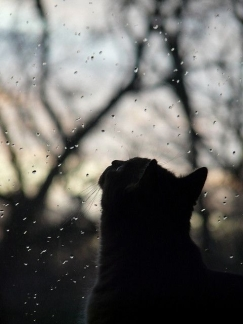 46701-Cat-Watching-Rain